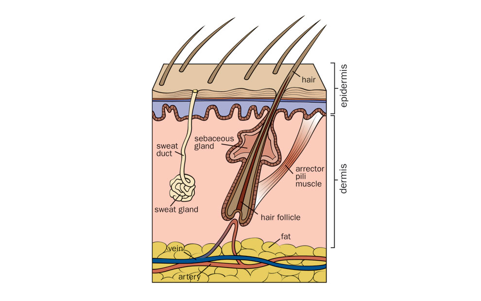 hair-follicle-illustration-01