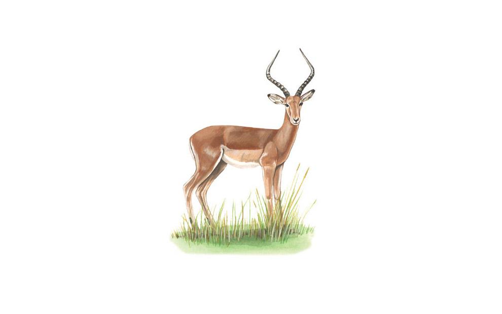 impala-illustration
