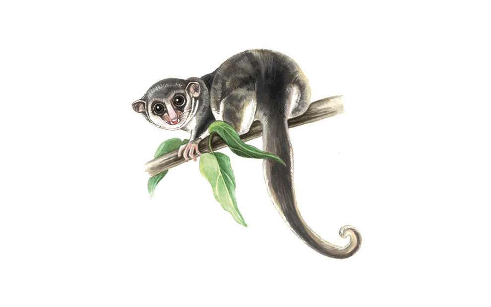lemur-illustration