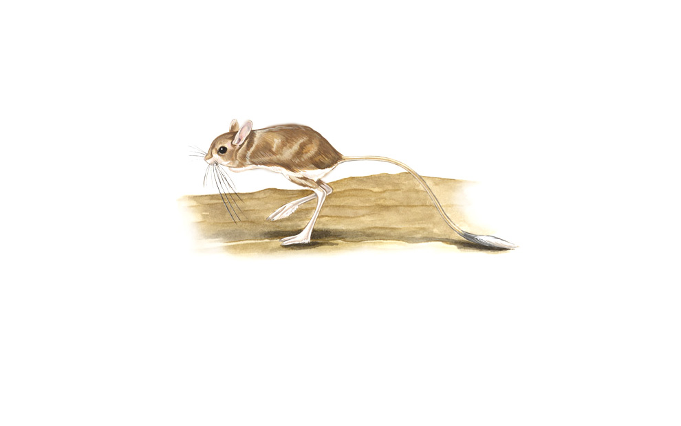 wildlife illustration 06