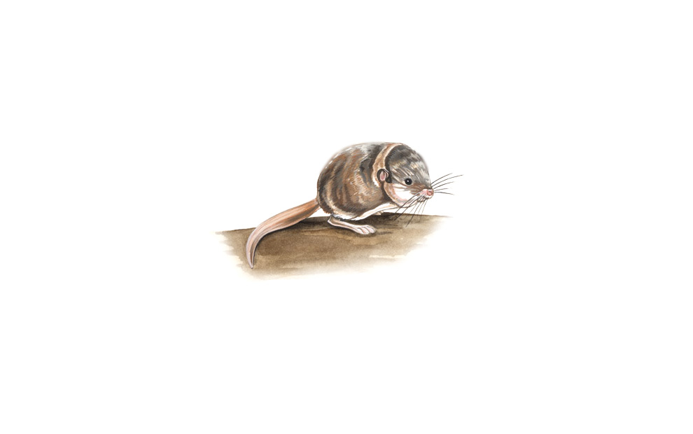 wildlife illustration 05