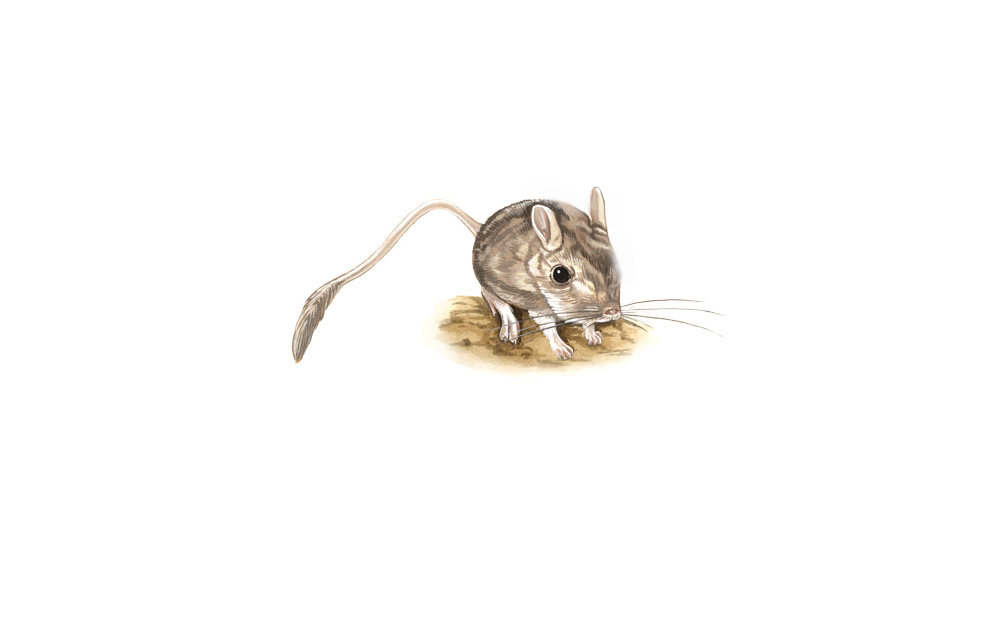 wildlife illustration 04