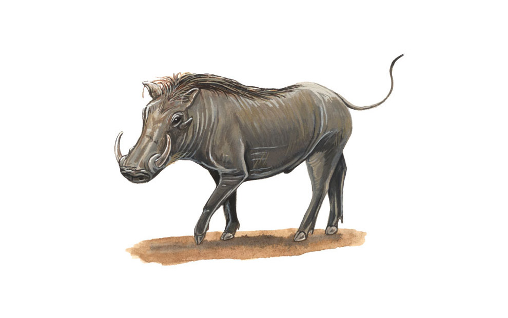 warthog-illustration