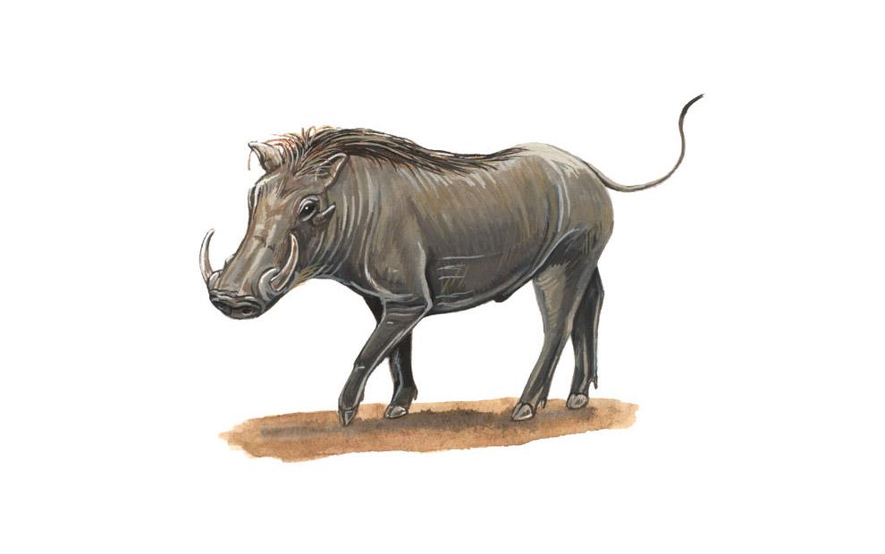 warthog-illustration