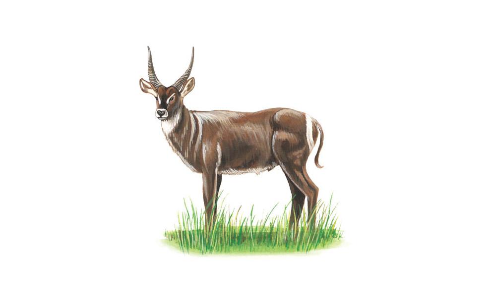 waterbuck-illustration